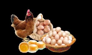 GEZEN TAVUK Yumurtası...